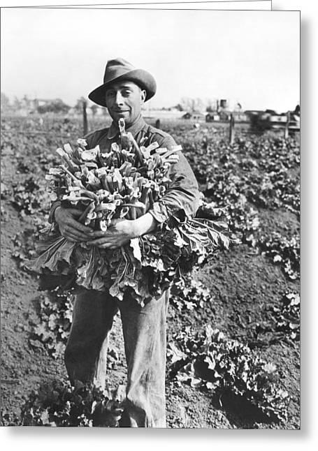 Harvesting Rhubarb In Alameda Greeting Card by Underwood Archives