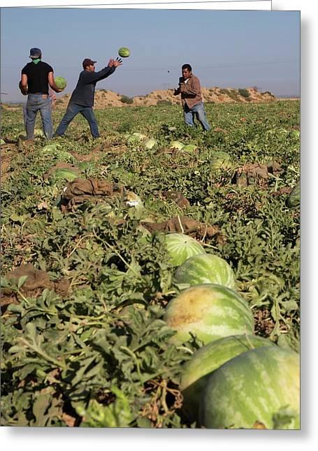 Harvesting Watermelons Greeting Card