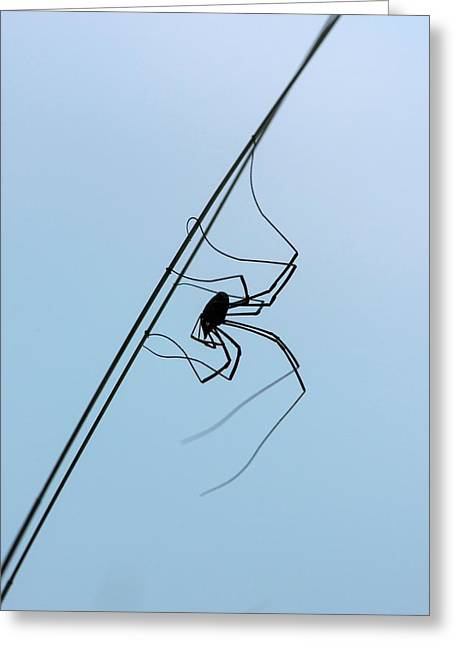 Harvestman On A Grass Blade Greeting Card