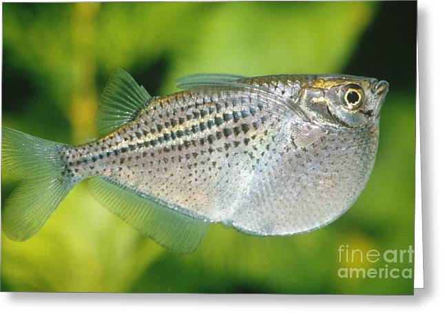 Hatchet Fish Gasteropelecus Maculatus Greeting Card by Tierbild Okapia