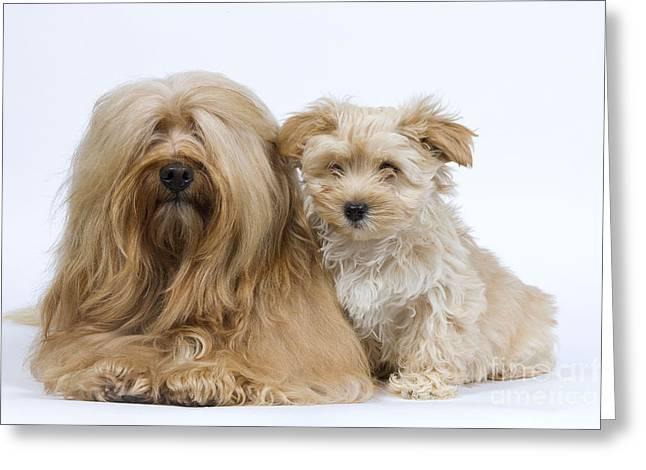 Havanese Dog & Puppy Greeting Card