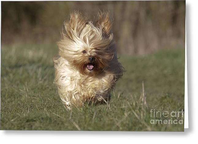 Havanese Dog Running Greeting Card