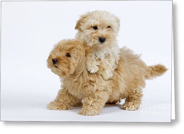 Havanese Puppy Dogs Greeting Card
