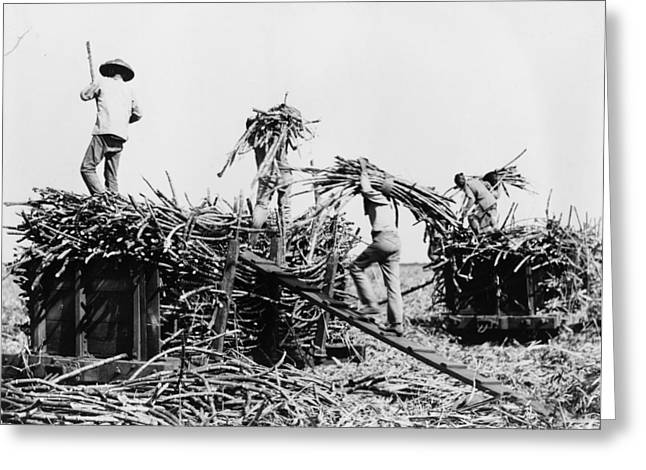 Hawaii Sugar Cane, C1917 Greeting Card