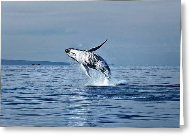 Hawaii Whale Breach Greeting Card by Pasha Reshikov