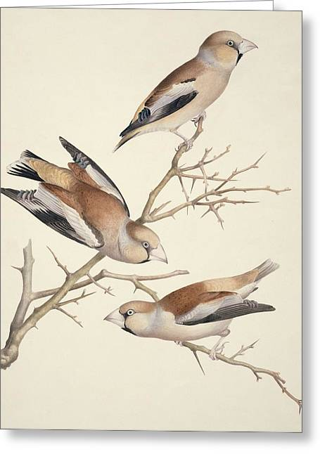 Hawfinches, 19th Century Artwork Greeting Card by Science Photo Library