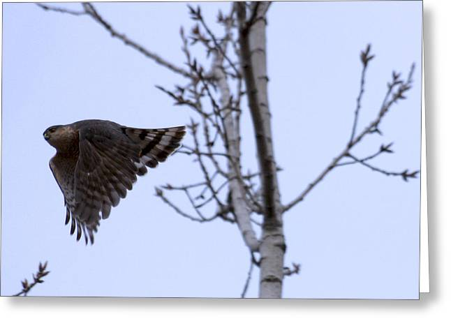 Hawk And Birch Greeting Card by Valerie Wolf