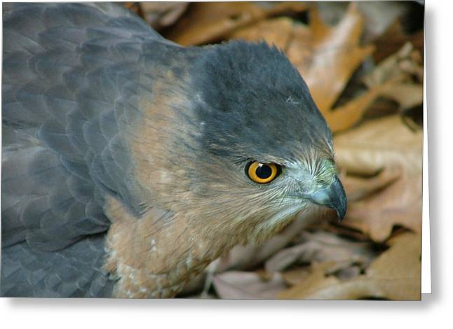 Hawk Eyes Up Close Greeting Card