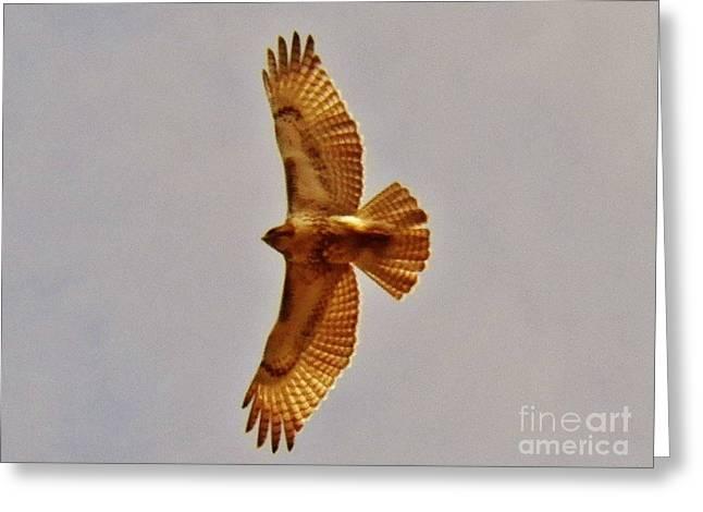 Hawk Flight Greeting Card by Judy Via-Wolff