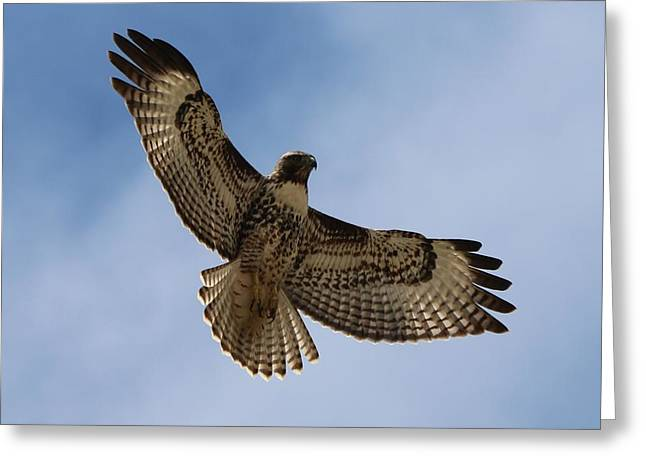 Hawk In Flight  Greeting Card