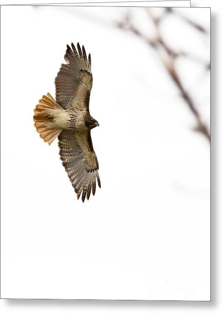 Hawk In Flight Greeting Card by Jill Bell