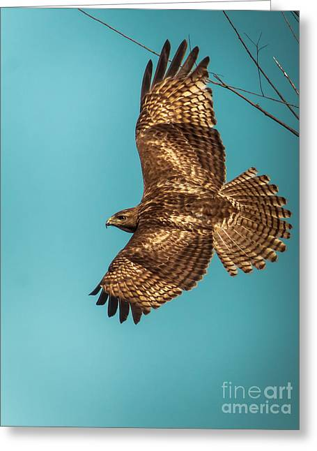 Hawk In Flight Greeting Card by Robert Frederick