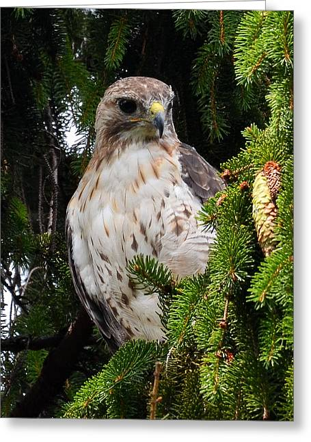 Hawk In Pine Greeting Card