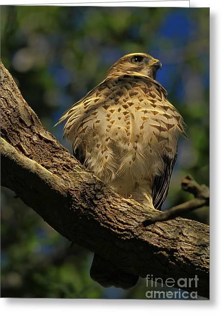 Hawk In Soft Light Greeting Card by Deborah Benoit