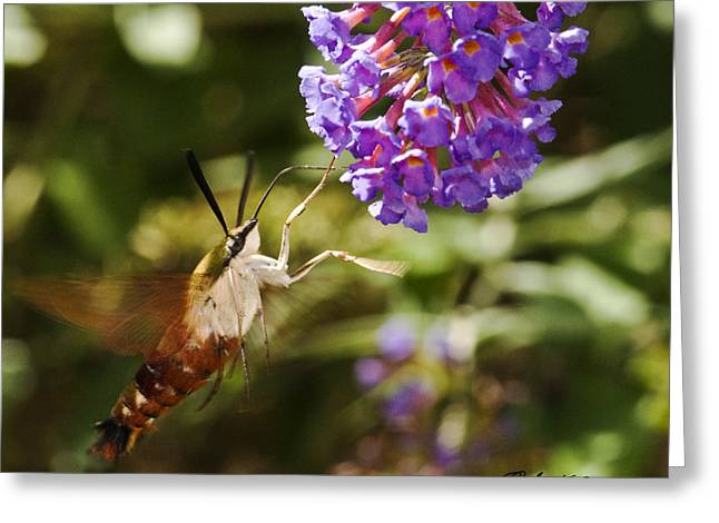 Greeting Card featuring the photograph Hawk Moth II by Robert Culver