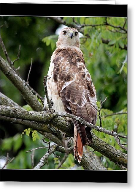 Hawk On Alert Greeting Card by Rosanne Jordan
