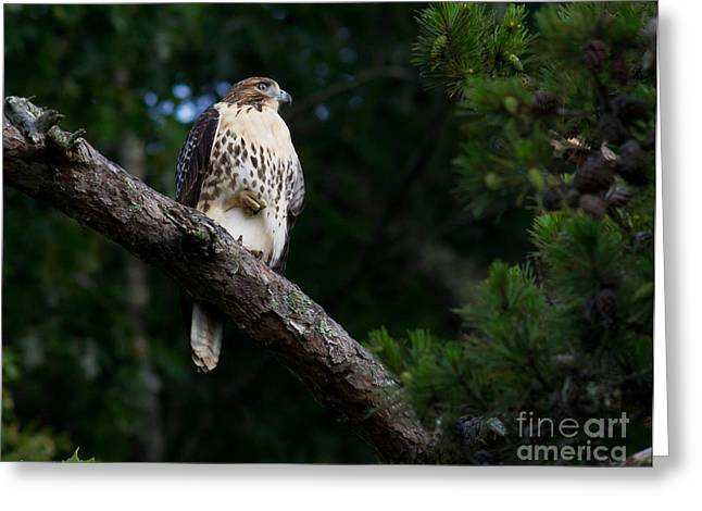 Hawk On Norris Lake Greeting Card by Douglas Stucky