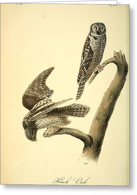 Hawk Owl  Greeting Card by Philip Ralley