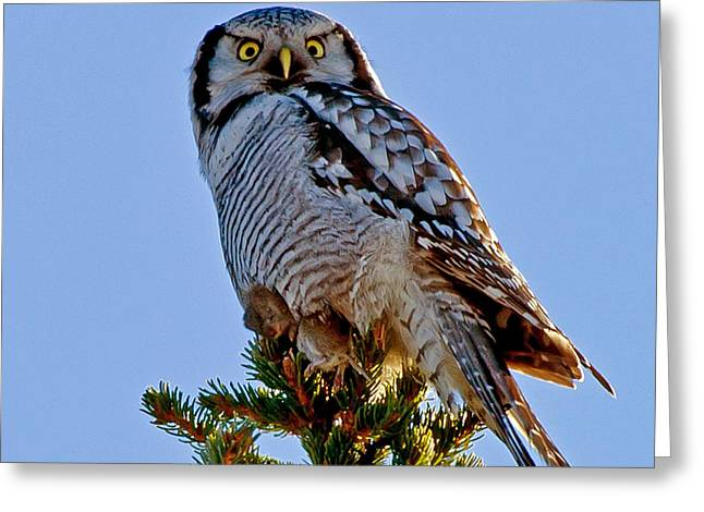 Hawk Owl Square Greeting Card