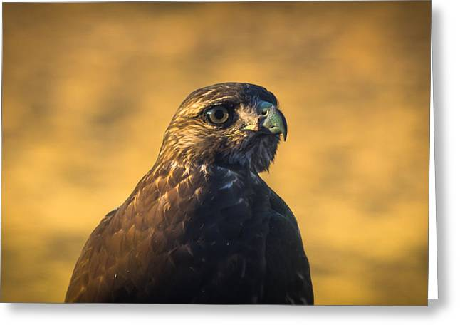 Hawk Stare Greeting Card by Marc Crumpler