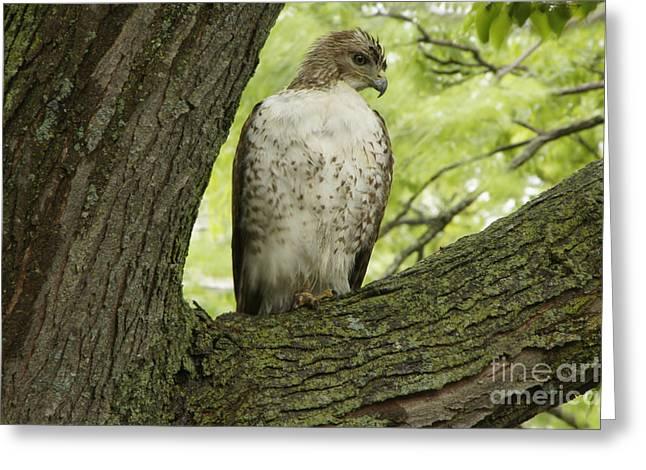 Hawk Stares Greeting Card