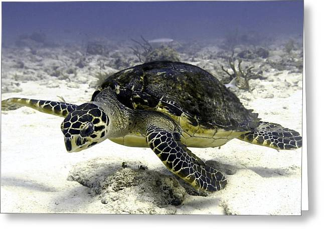 Hawksbill Caribbean Sea Turtle Greeting Card by Amy McDaniel