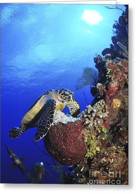 Hawksbill Sea Turtle And Gray Angelfish Greeting Card by Amanda Nicholls