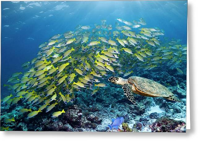 Hawksbill Turtle And Blueline Snappers Greeting Card