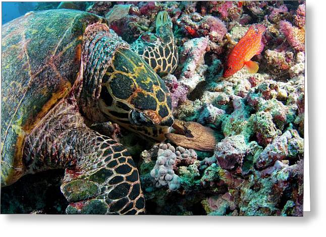 Hawksbill Turtle Encouners An Angry Eel Greeting Card
