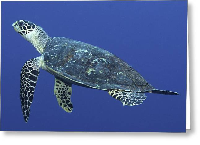 Hawksbill Turtle Greeting Card by Paula Marie deBaleau