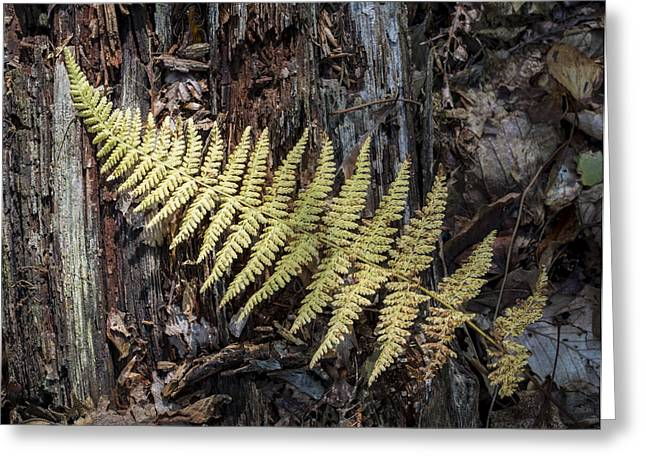 Greeting Card featuring the photograph Hay-scented Fern by Andrew Pacheco