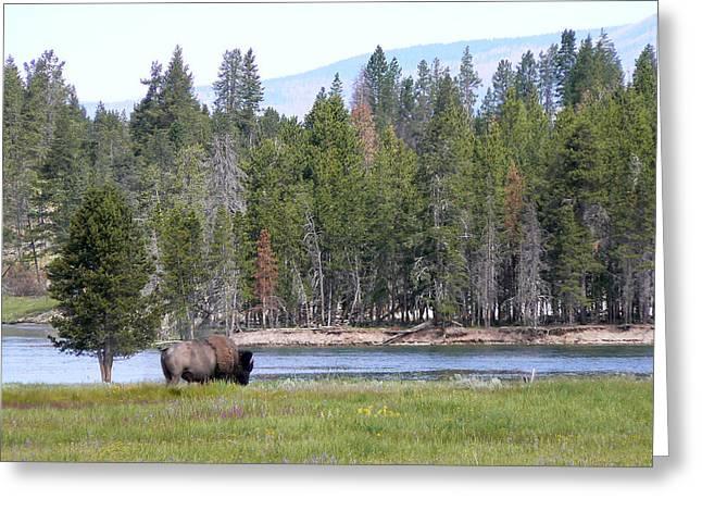 Hayden Valley Bison Greeting Card