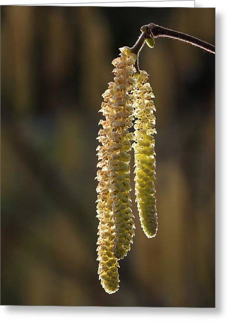 Hazel Catkins Greeting Card by Alex Hyde
