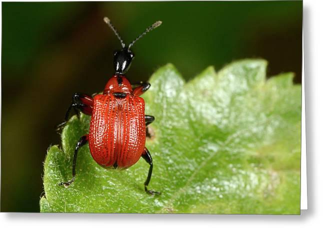 Hazel Leaf-roller Weevil Greeting Card by Nigel Downer