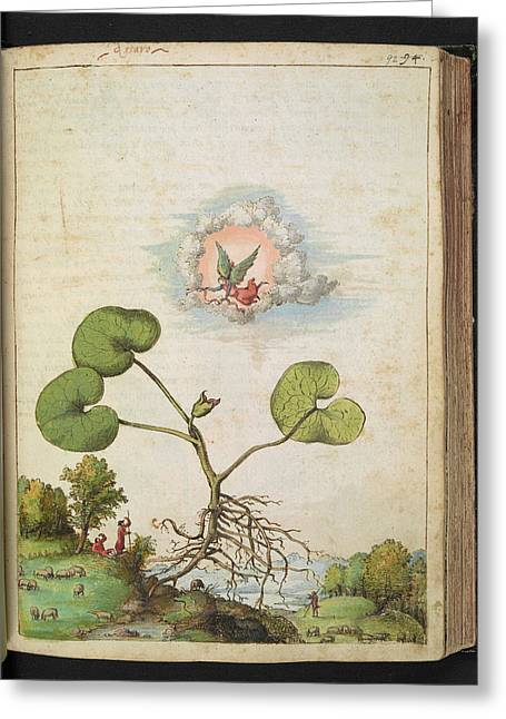 Hazelwort (asarum Europaeum) Greeting Card by British Library