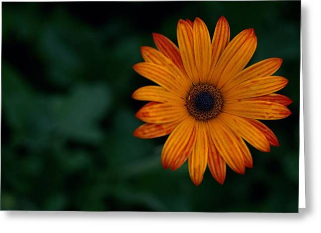 He Loves Me... Greeting Card by Dawn Jarvis