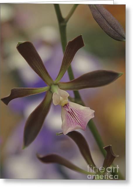 He Pua Ke Aloha - The Flower Of Love - Orchidea Tropicale Greeting Card by Sharon Mau