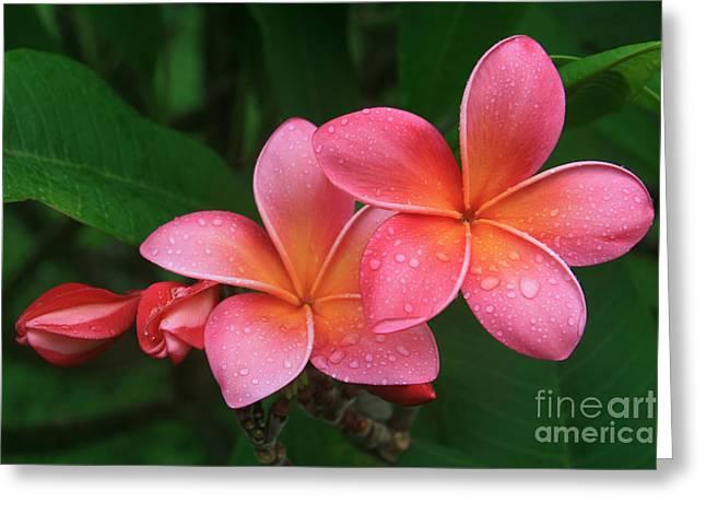 He Pua Laha Ole Hau Oli Hau Oli Oli Pua Melia Hae Maui Hawaii Tropical Plumeria Greeting Card