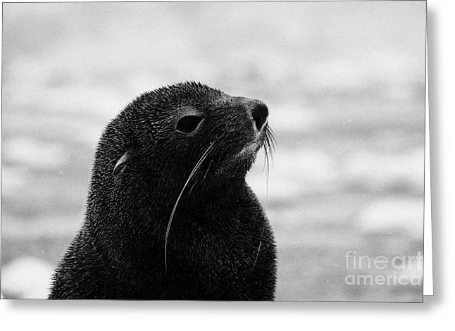 head and shoulders of juvenile fur seal floating on iceberg in Fournier Bay Antarctica Greeting Card by Joe Fox