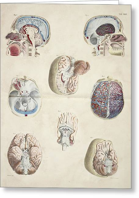 Head And Skull Anatomy Greeting Card by British Library