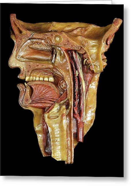 Head And Throat Model Greeting Card
