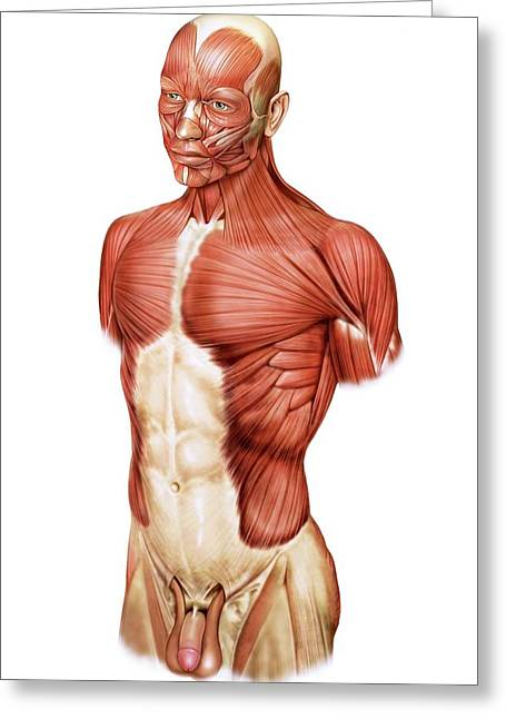 Head And Trunk Muscular Groups Greeting Card