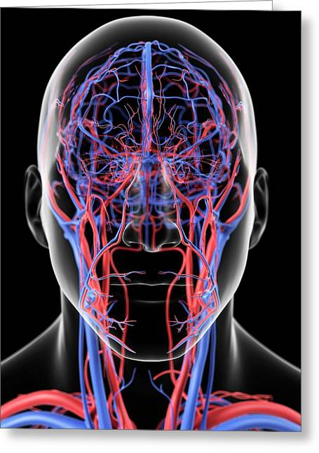 Head Blood Vessels Greeting Card by Sciepro