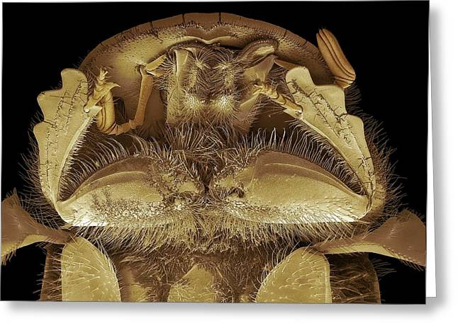 Head Of A Dung Beetle. Sem Greeting Card by Steve Gschmeissner