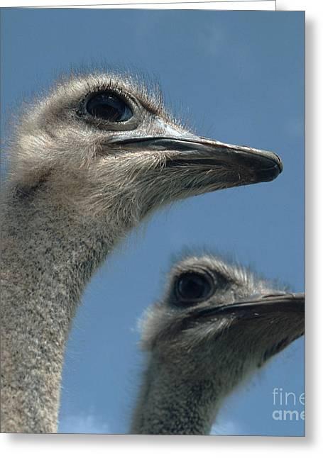 Head Of A Female Ostrich Greeting Card by Nigel Cattlin