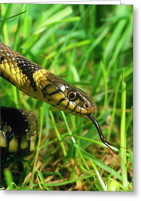 Head Of Common Grass Snake Greeting Card
