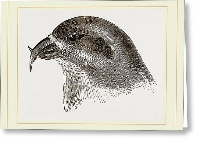 Head Of Crossbill Greeting Card by Litz Collection