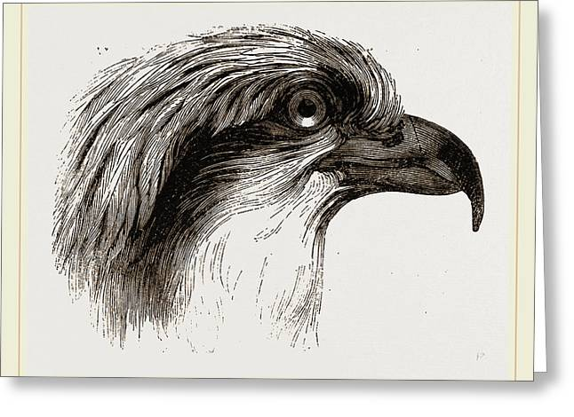Head  Of Osprey Greeting Card by Litz Collection