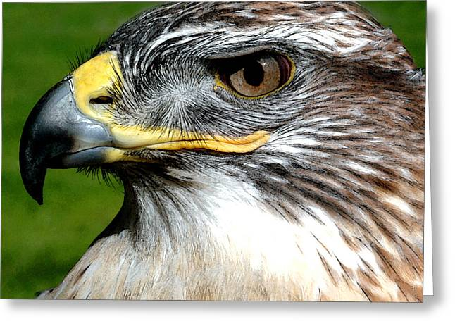 Head Portrait Of A Eagle Greeting Card