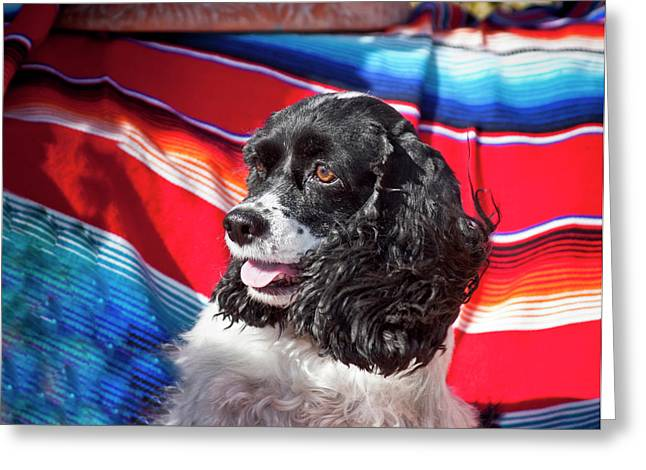 Headshot Of A Cocker Spaniel Sitting Greeting Card by Zandria Muench Beraldo